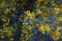 Colorful Cassia fills the garden with yellow.