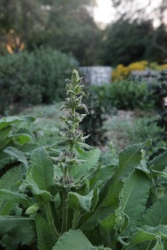 Hummingbird Sage blooms are starting to emerge from their leathery, fragrant leaves.