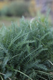 Feathery Common Yarrow has grown from seed into a soft blanket.