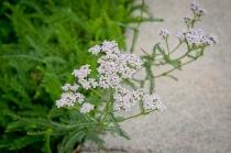 Common Yarrow blooms