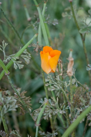 California's state flower, the delicate, bright orange poppy, has silver foliage. When it goes to seed, it sprouts these bright green seed heads.