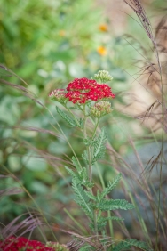 White Yarrow forms the IdealMow lawn, while Red Yarrow blooms pop in the area surrounding the patio
