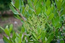 Toyon is ready to erupt with its delicate white blooms