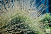 As Coyote Mint and Black Sage blooms fade, green mounds of Deer Grass erupt with wands of golden seeds. Aesthetically, it is a good replacement for those who adore the look of arsonist Fountain Grass.